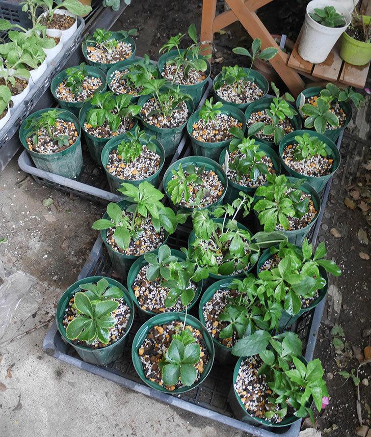 種から育てているクリスマスローズをスリット鉢に植え替えた。2019年-9.jpg