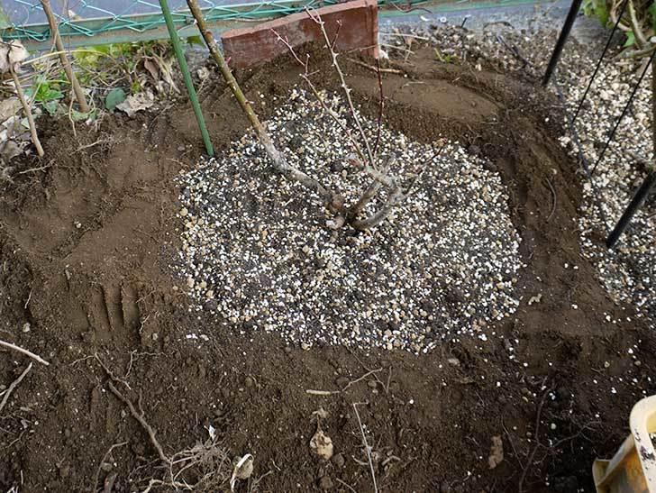 穴を掘ってプリンセスタカコ(バラ)を地植えした。2016年-5.jpg