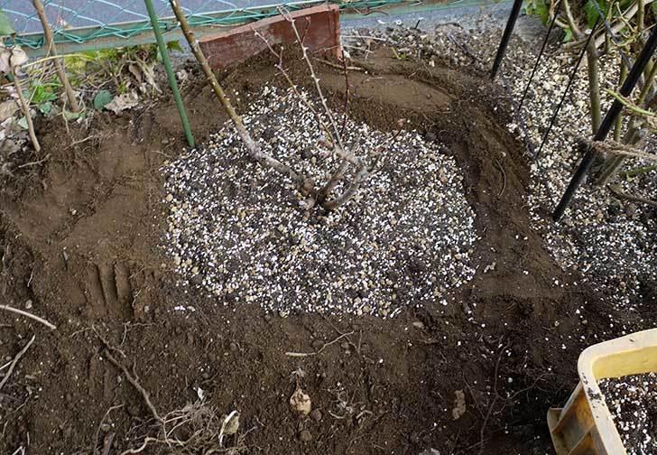 穴を掘ってプリンセスタカコ(バラ)を地植えした。2016年-7.jpg