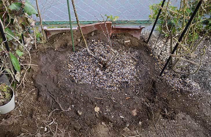 穴を掘ってプリンセスタカコ(バラ)を地植えした。2016年-8.jpg