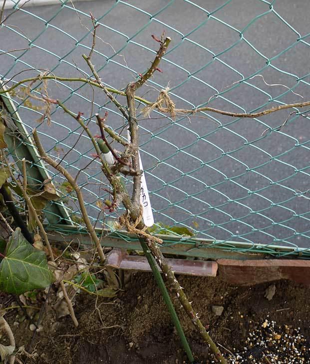 穴を掘ってプリンセスタカコ(バラ)を地植えした。2016年-9.jpg