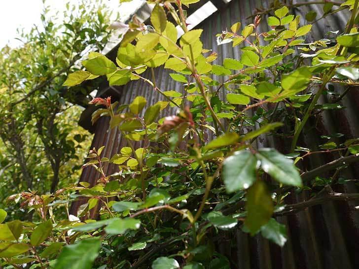 粘着くんを地植えのツルバラのアブラムシに使ってみた2.jpg