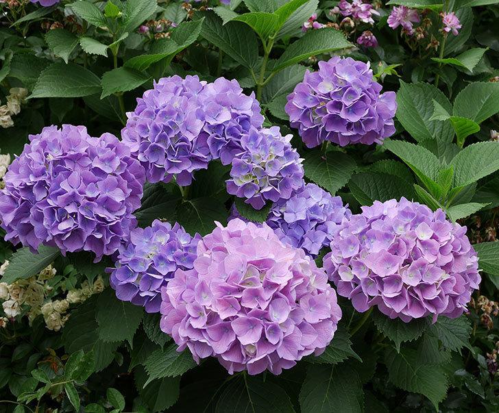 紫のアジサイがたくさん咲いた。2018年-1.jpg