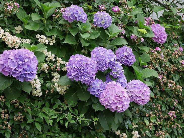 紫のアジサイがたくさん咲いた。2018年-2.jpg