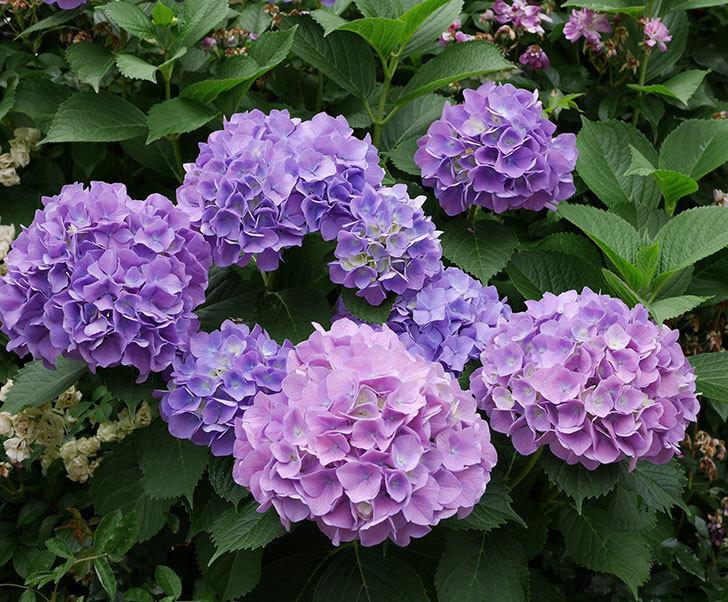 紫のアジサイがたくさん咲いた。2018年-3.jpg