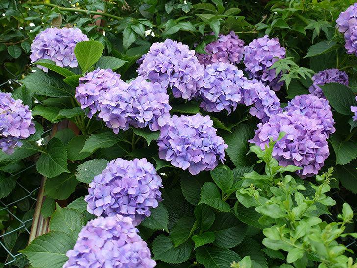 紫のアジサイが咲いた。2017年-1.jpg