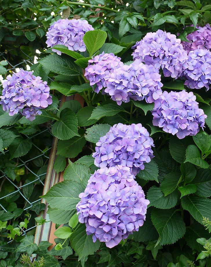 紫のアジサイが咲いた。2017年-4.jpg