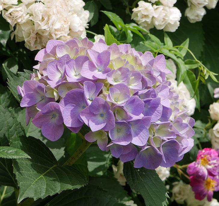 紫のアジサイが咲いた。2018年-5.jpg