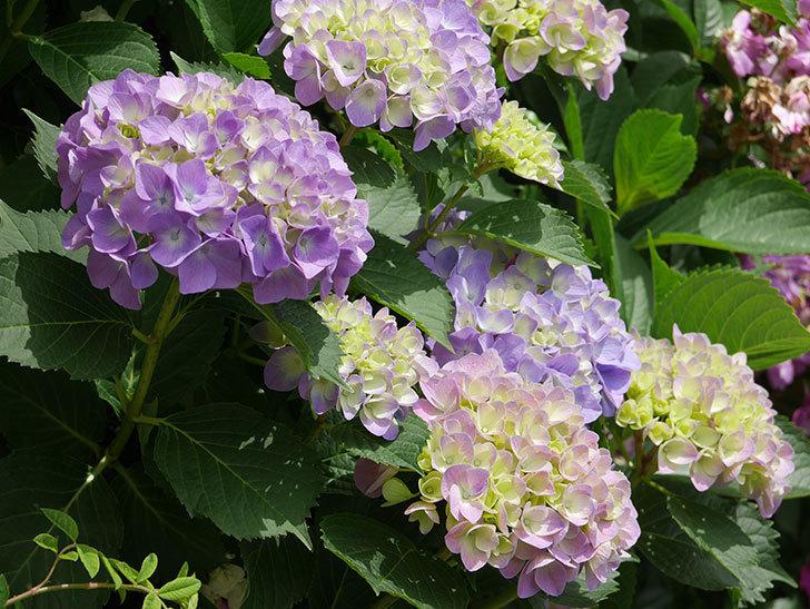 紫のアジサイが咲いた。2018年-6.jpg