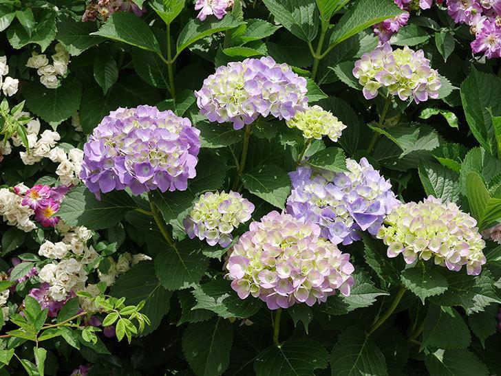 紫のアジサイが咲いた。2018年-7.jpg