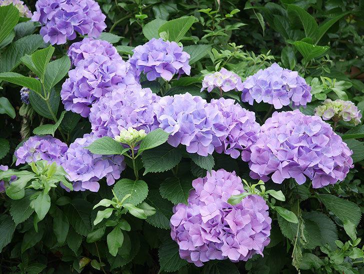 紫のアジサイの花がたくさん咲いた。2020年-001.jpg