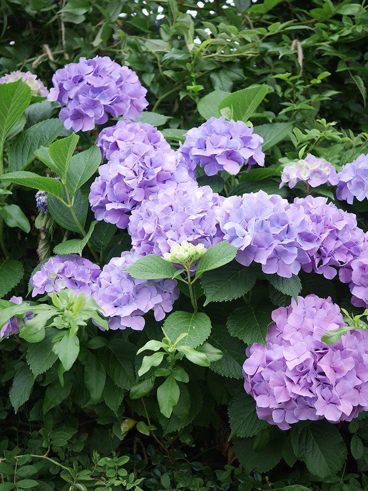 紫のアジサイの花がたくさん咲いた。2020年-002.jpg