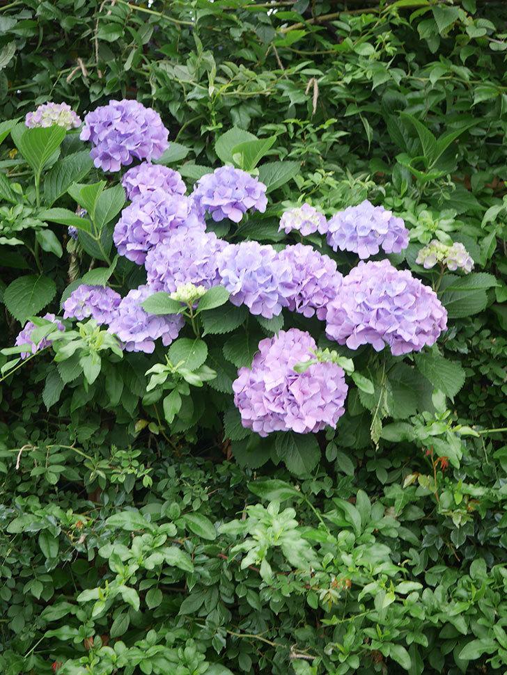 紫のアジサイの花がたくさん咲いた。2020年-003.jpg