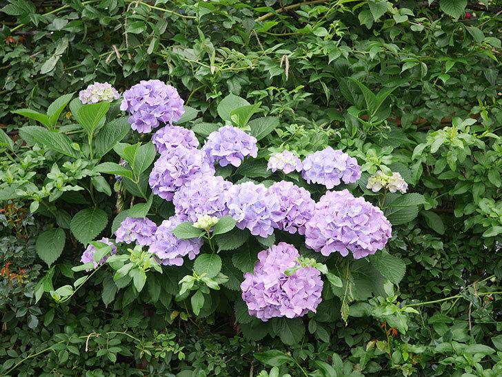紫のアジサイの花がたくさん咲いた。2020年-004.jpg