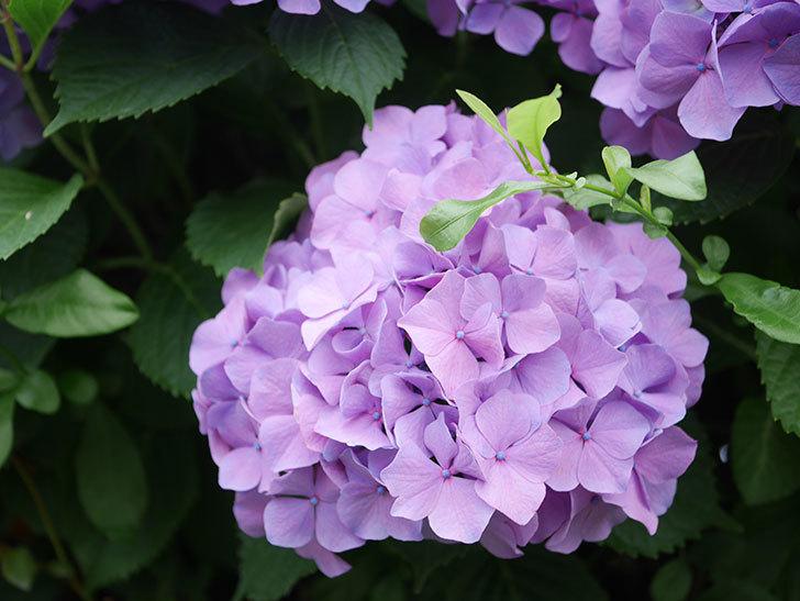 紫のアジサイの花がたくさん咲いた。2020年-005.jpg