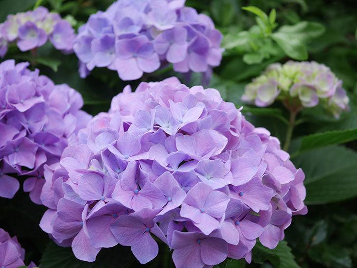 紫のアジサイの花がたくさん咲いた。2020年-006.jpg