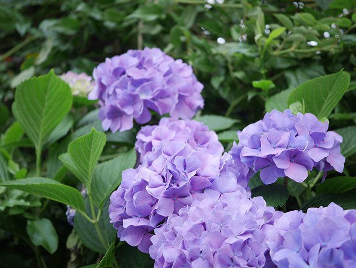 紫のアジサイの花がたくさん咲いた。2020年-007.jpg