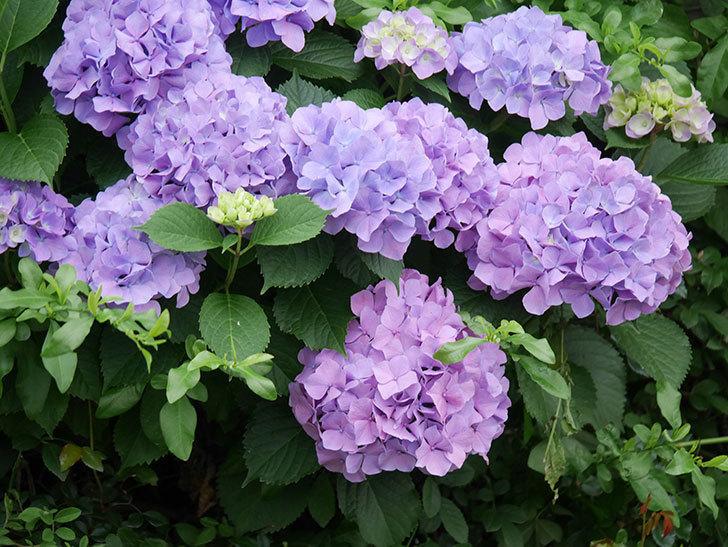 紫のアジサイの花がたくさん咲いた。2020年-008.jpg