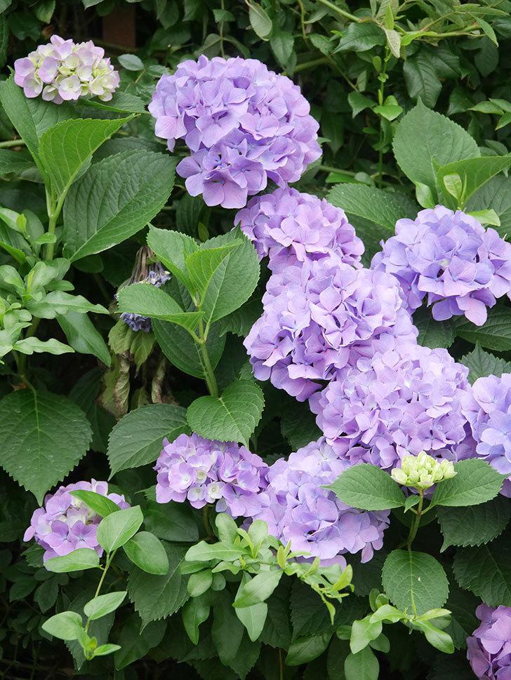 紫のアジサイの花がたくさん咲いた。2020年-009.jpg