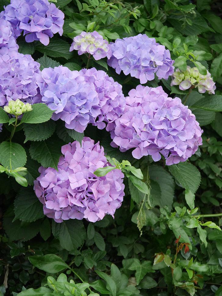 紫のアジサイの花がたくさん咲いた。2020年-010.jpg