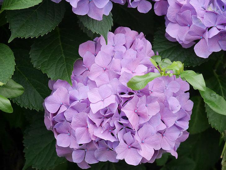 紫のアジサイの花がたくさん咲いた。2020年-011.jpg