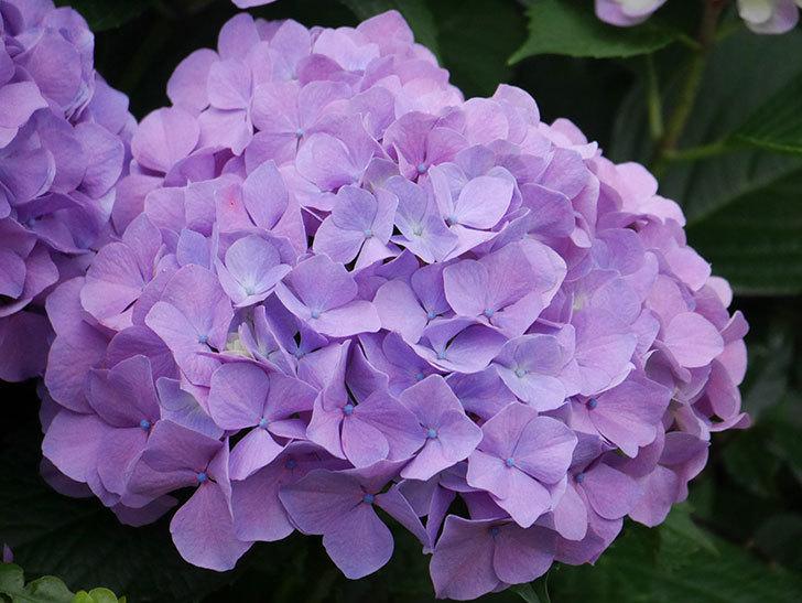 紫のアジサイの花がたくさん咲いた。2020年-012.jpg