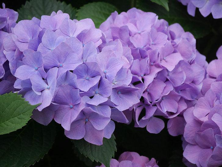 紫のアジサイの花がたくさん咲いた。2020年-013.jpg