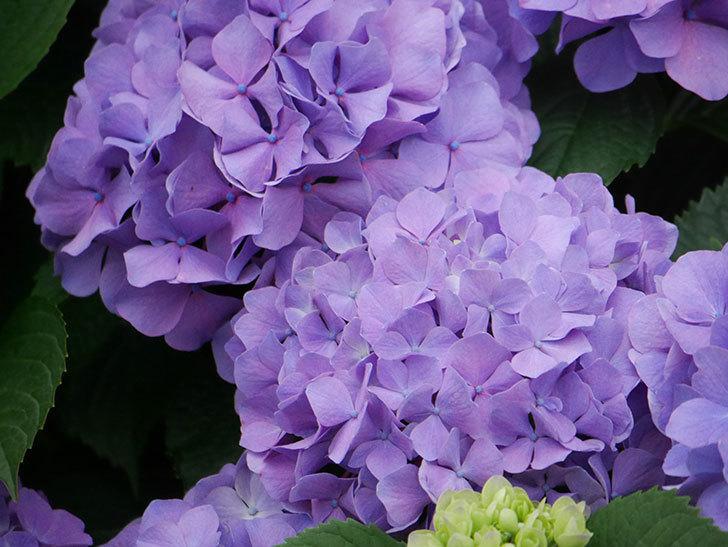 紫のアジサイの花がたくさん咲いた。2020年-014.jpg