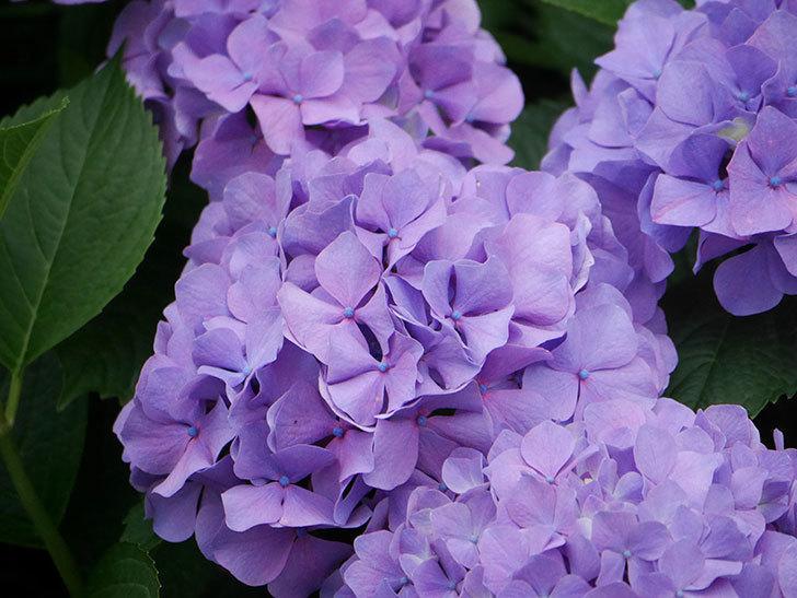 紫のアジサイの花がたくさん咲いた。2020年-015.jpg