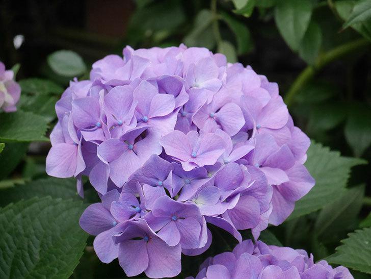 紫のアジサイの花がたくさん咲いた。2020年-016.jpg