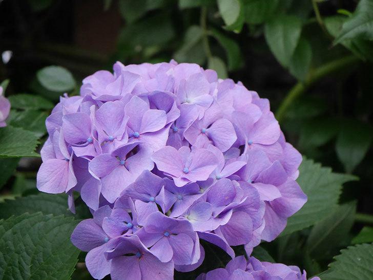 紫のアジサイの花がたくさん咲いた。2020年-017.jpg