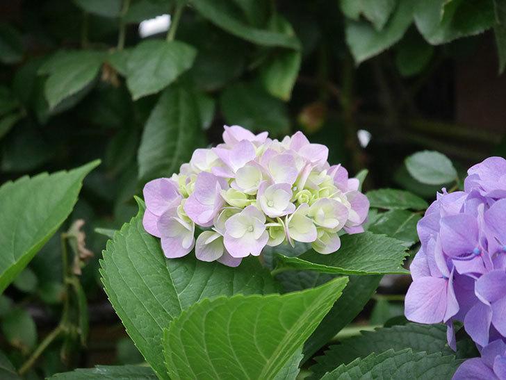 紫のアジサイの花がたくさん咲いた。2020年-018.jpg
