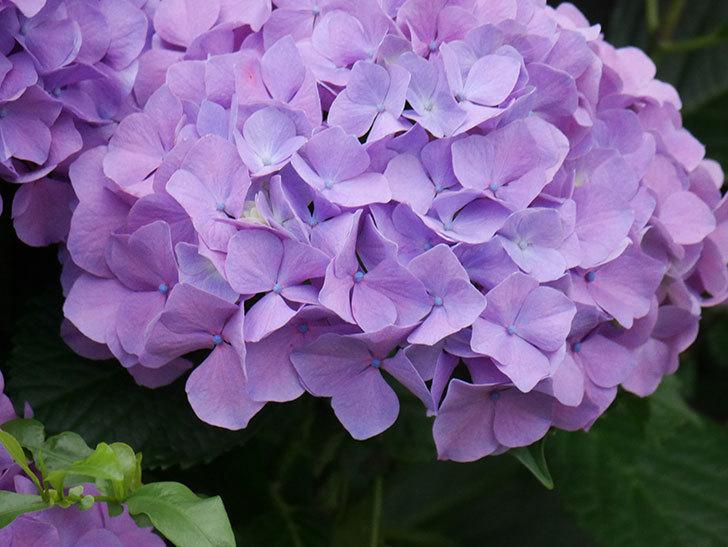 紫のアジサイの花がたくさん咲いた。2020年-019.jpg