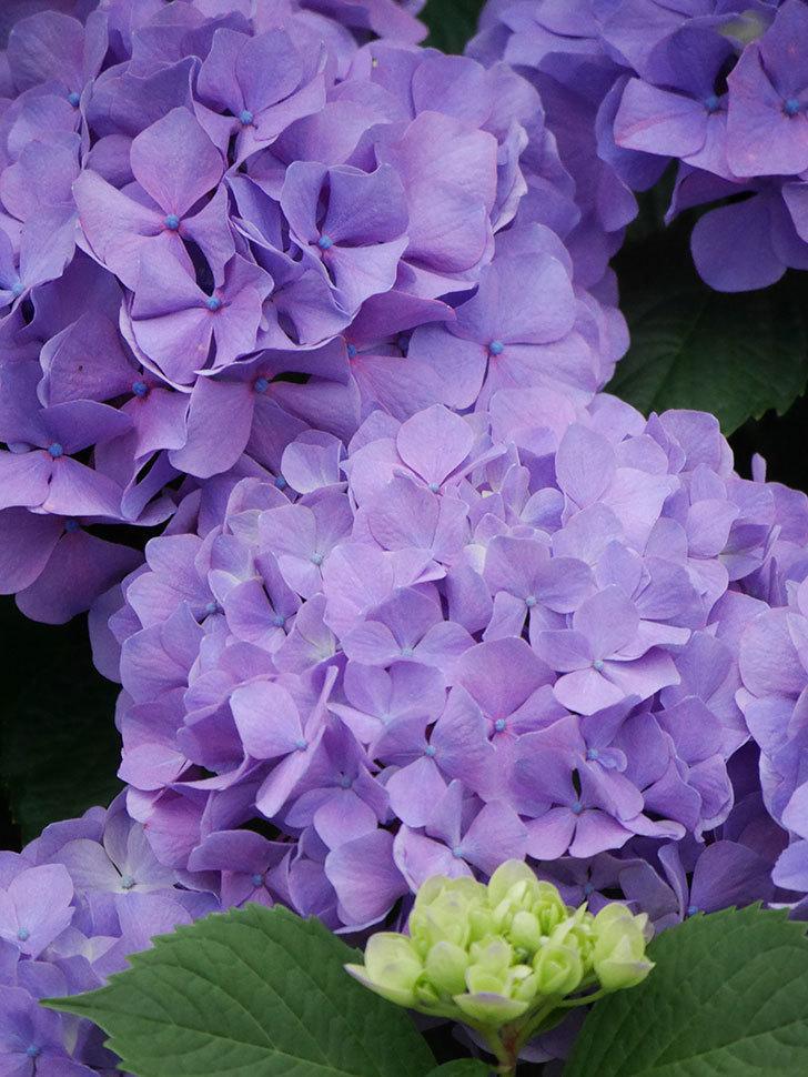 紫のアジサイの花がたくさん咲いた。2020年-020.jpg