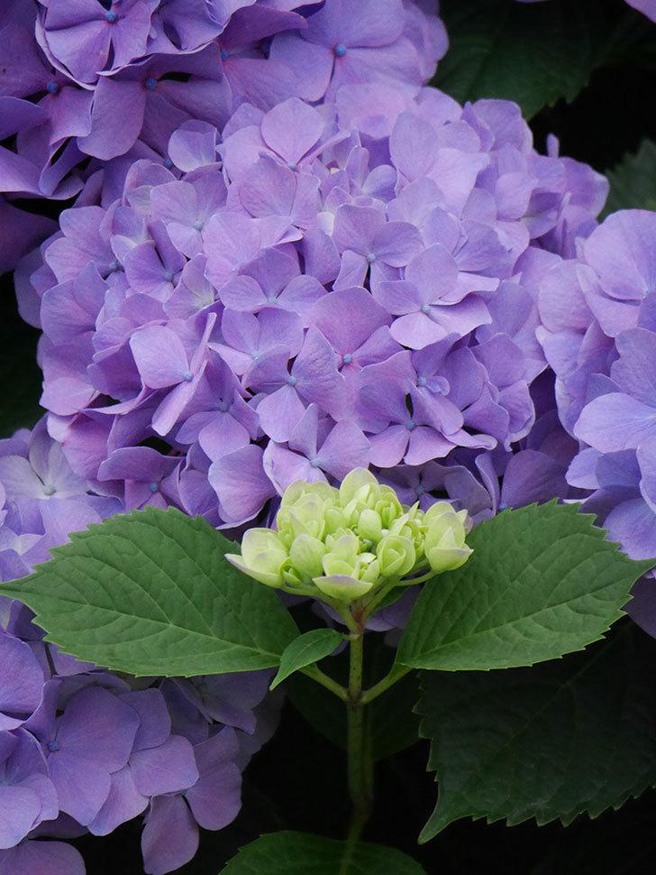 紫のアジサイの花がたくさん咲いた。2020年-021.jpg