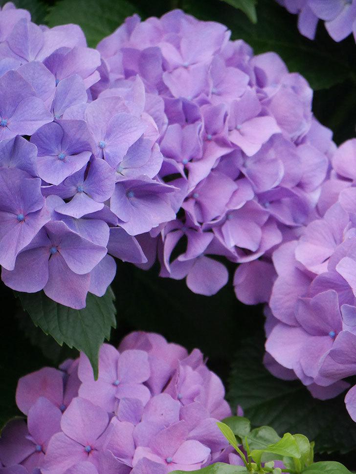 紫のアジサイの花がたくさん咲いた。2020年-022.jpg