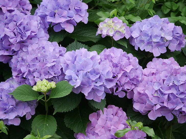 紫のアジサイの花がたくさん咲いた。2020年-023.jpg