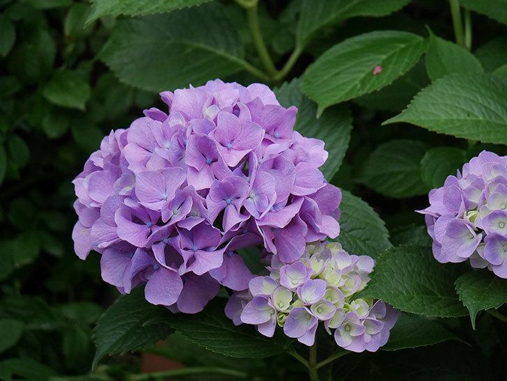 紫のアジサイの花が咲いた。2019年-1.jpg