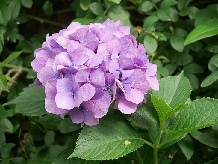 紫のアジサイの花が咲いた。2021年-001.jpg
