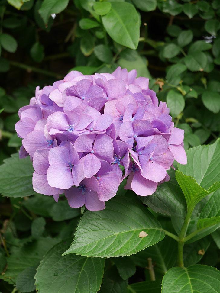 紫のアジサイの花が咲いた。2021年-002.jpg