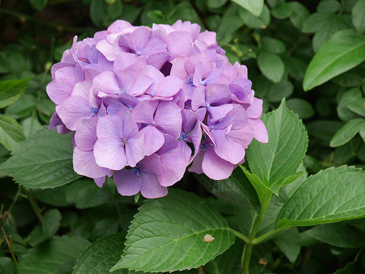紫のアジサイの花が咲いた。2021年-006.jpg