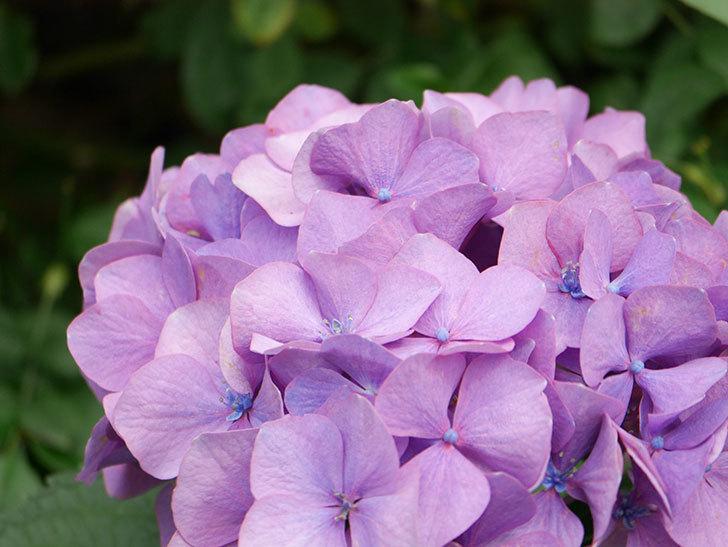 紫のアジサイの花が咲いた。2021年-008.jpg