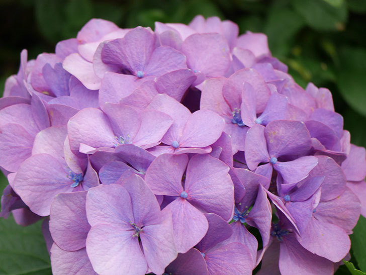 紫のアジサイの花が咲いた。2021年-009.jpg
