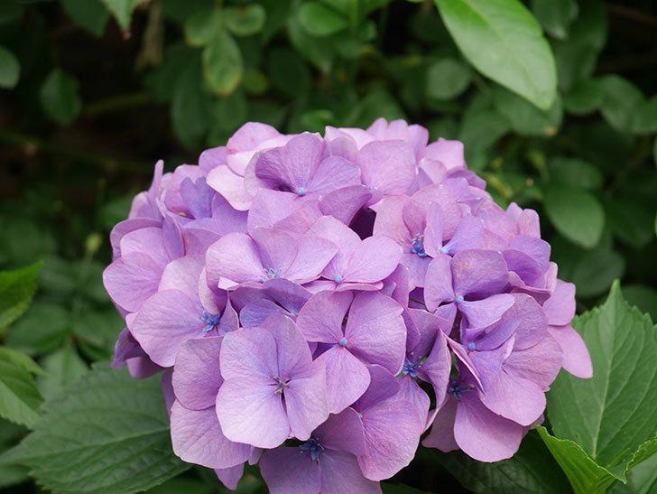 紫のアジサイの花が咲いた。2021年-010.jpg