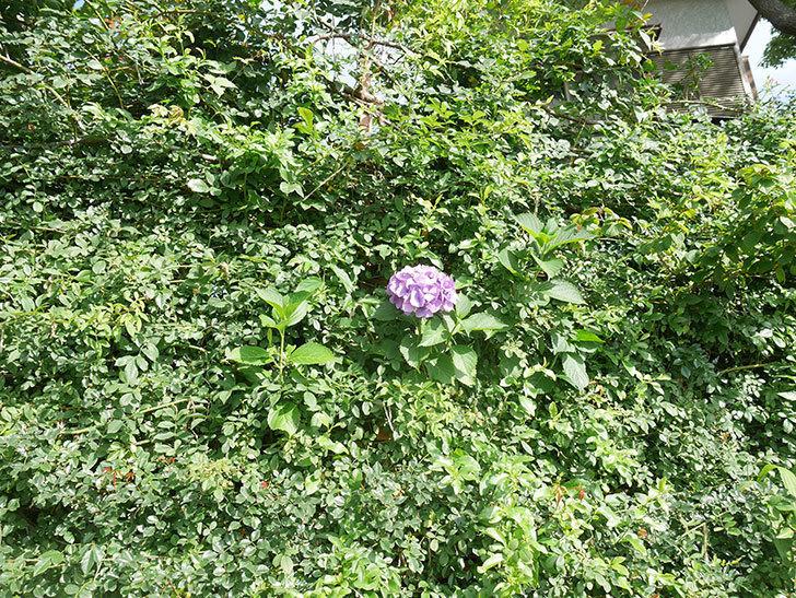 紫のアジサイの花が咲いた。2021年-014.jpg