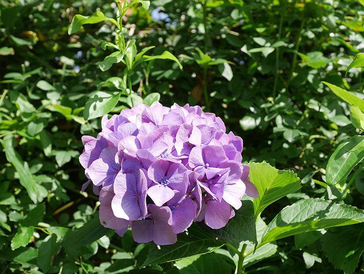 紫のアジサイの花が咲いた。2021年-019.jpg