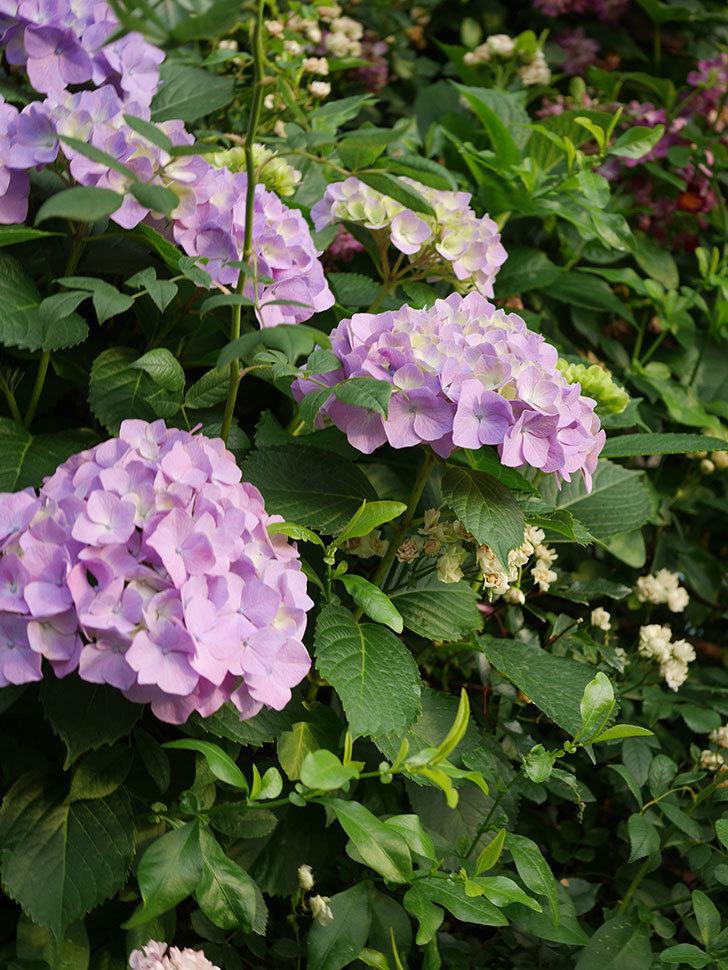 紫のアジサイの花が増えてきた。2020年-003.jpg