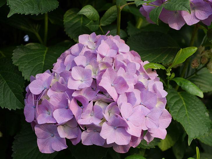 紫のアジサイの花が増えてきた。2020年-004.jpg