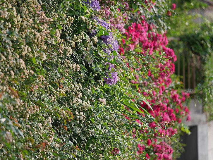 紫のアジサイの花が増えてきた。2020年-006.jpg
