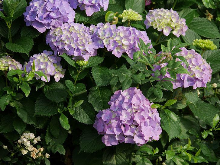 紫のアジサイの花が増えてきた。2020年-007.jpg
